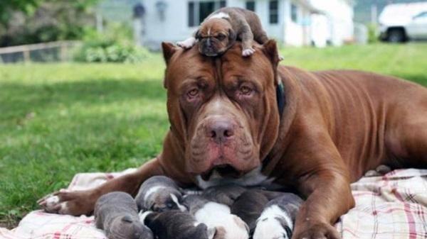 Fakta Tentang Anjing Jenis Pitbull Opini Id